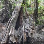 Gargoyle Tree Alafia River