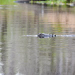 Gator Crossing Sweetwater Creek