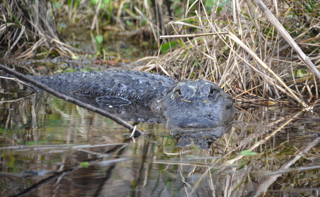 Gator Face Off - Sweetwater Creek