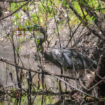 Hidden Blue Heron - Alafia River