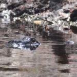 Lurking Gator - Sweetwater Creek