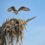 Osprey Leaving Nest - Sweetwater Creek