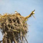 Osprey Nest - Sweetwater Creek