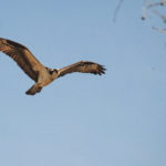 Osprey Observes over Sweetwater Creek