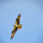Osprey in Flight - Sweetwater Creek