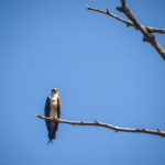 Osprey on Watch - Bulow Creek