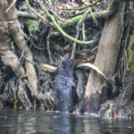 Otter Climbs the Alafia River bank