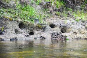 Plecostomus Holes - Alafia River