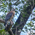 Red Shouldered Hawk - Little Manatee River