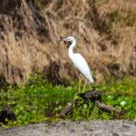 Snowy Egret on Sweetwater Creek