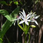 Swamp Lilly - Little Manatee River