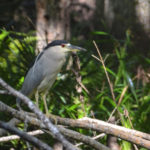 Black Crowned Night Heron - Haw Creek