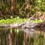Gator Enters Water - Haw Creek