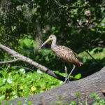 Limpkin - Haw Creek
