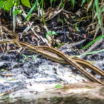 Mating Snakes - Indian Creek