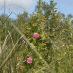 Swamp Hibiscus - Hibiscus moscheutos - Salt Creek