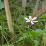 Swamp Marsh-pink - Sabatia calycina