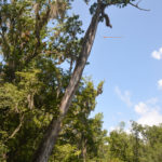Arrow Cypress Tree - Deep Creep