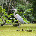 Blue Heron - Deep Creek
