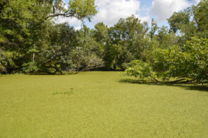 Duckweed - Deep Creek