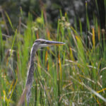 Heron in the Marsh Grass