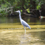 Little Blue Heron in Shallows
