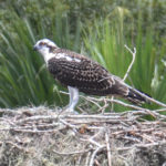 Osprey Perched at Nest