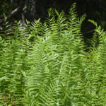 Southern Shield Ferns - Lower Juniper Creek