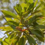 Sweet Bay - Magnolia virginiana - Juniper Creek