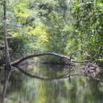 Tree Arch over Black Creek