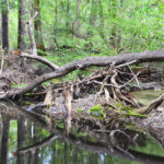 Blockage on Olustee Creek
