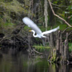 Great Egret takes to flight