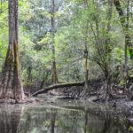 Limbo Tree - Olustee Creek
