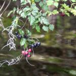 Peppervine - Ampelopsis arborea
