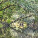 River Birch Overhang