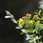Shrubby St. Johns Wort - Hypericum prolificum