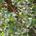 Wild Grapes - Upper Santa Fe River