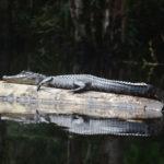 A Young Durbin Creek Gator