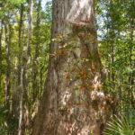 Cypress Tree 10' Diameter at waterline