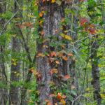 Poison Oak on Durbin Creek