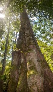 Sentinel Cypress on Durbin Creek