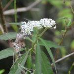 Swamp Milkweed - Durbin Creek