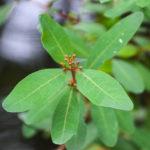 Virginia Marsh-St. Johns Wort - Triadenum virginicum