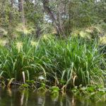 Wild Rice – Zizania aquatica - Ocklawaha River