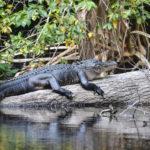 Young Ocklawaha Gator