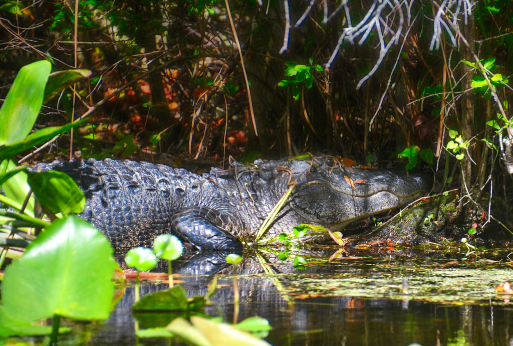 Gator in the Shadows