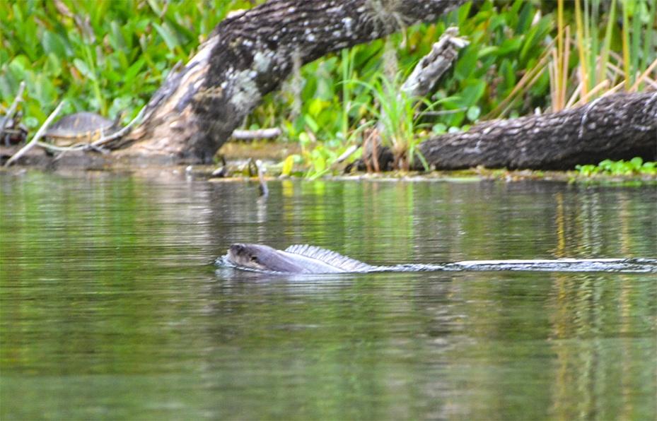 Otter swims across the creek