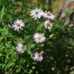 Climbing Asters