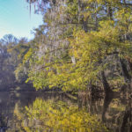 Colored Cypress - River Rise