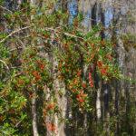 Dahoon Holly Berries